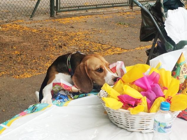 Um dos beagles tenta roubar uma lembrancinha da festa antes da hora